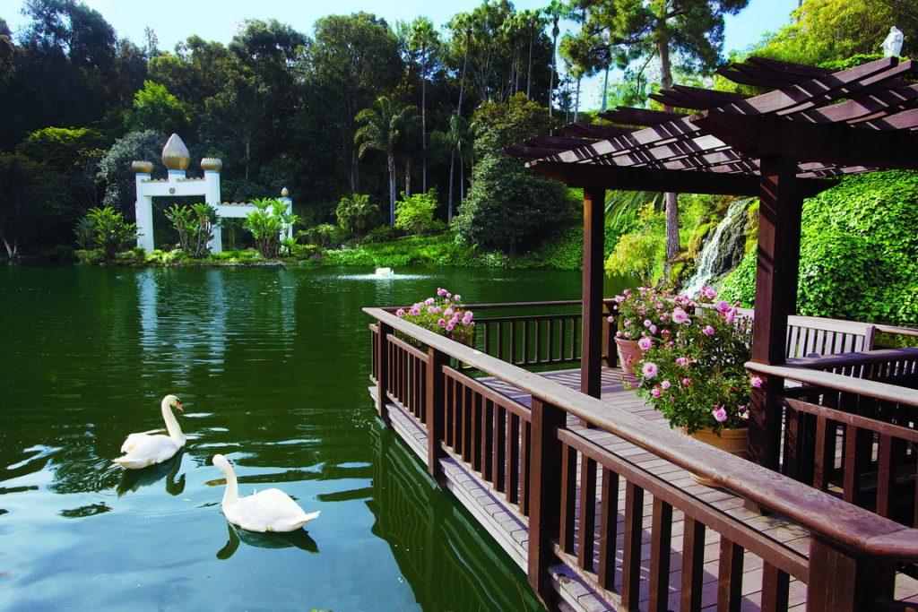 Swans at the SRF Lake Shrine